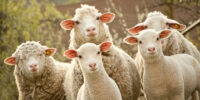 Sheep and Faces
