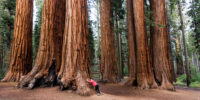 World s largest trees can burn